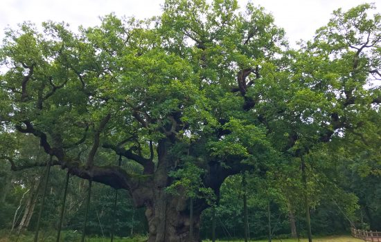 The Great Oak Tree, Sherwood Forest