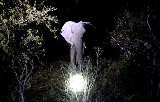 Elephant night safari