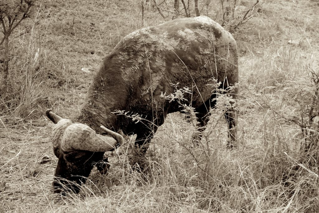 A Buffalo in Kruger on Safari