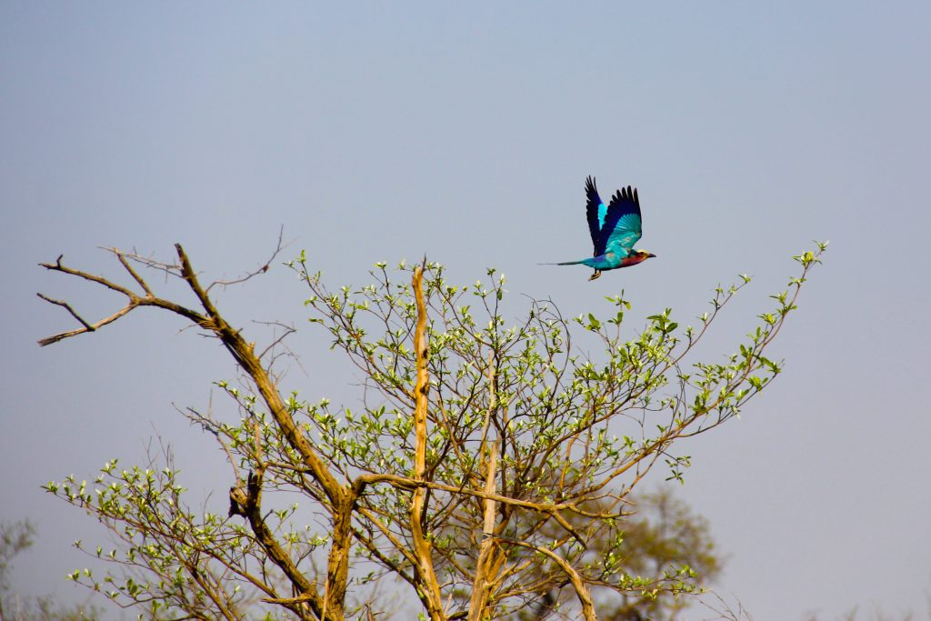 A Lilac Breasted Roller in Kruger on Safari