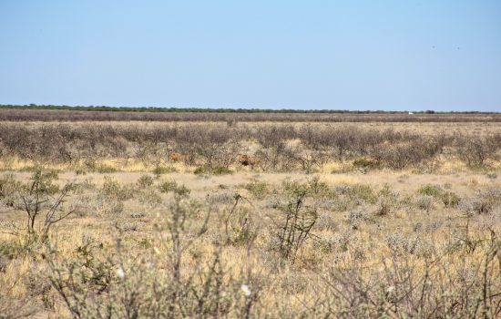 Lions in the distance in Etosha NP
